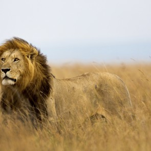 Something to roar about: lost lion population discovered in Ethiopia
