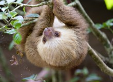 Baby two-toed sloth
