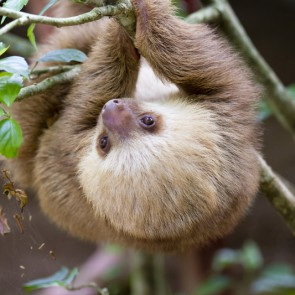 Rare and super-cute baby sloth born
