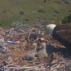 Cute Alert: Baby bald eagles on live webcams