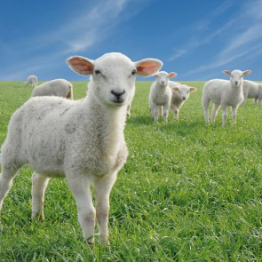 What sound does a lawn mower make? BAAAAA!