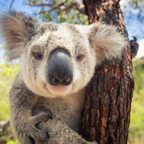 "Australian government in koala hugging ""controversy"""