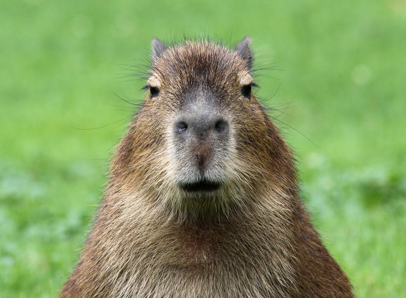 A capybara, the world's largest rodent