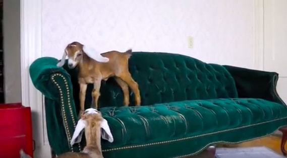 baby goats on couch