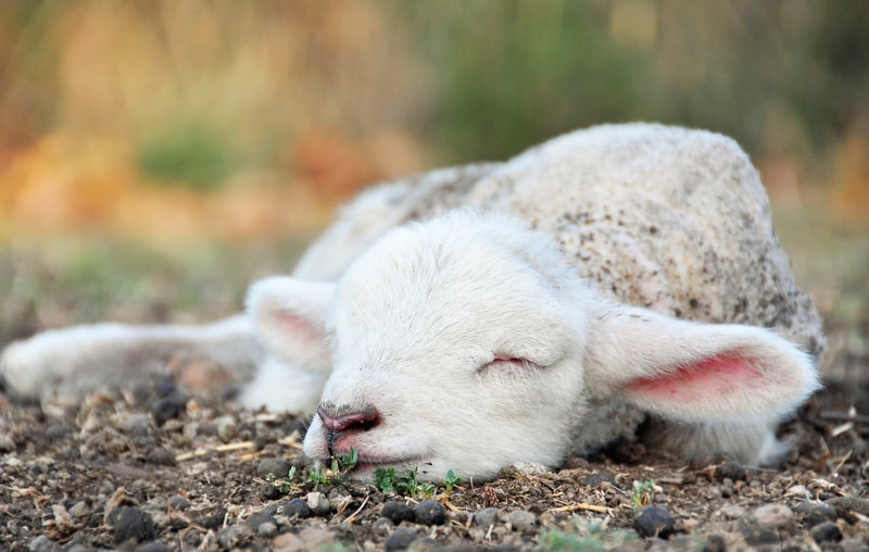 sleeping sheep, lamb