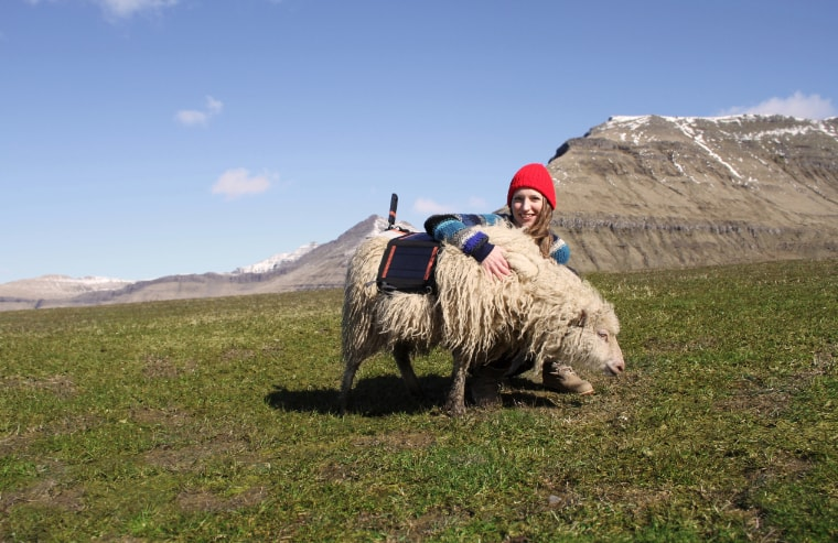 Faroe Islands sheep Durita