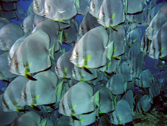 fish batfish singing