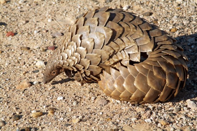 giant rats pangolin