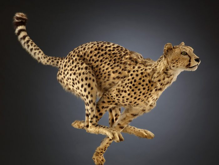 Biomechanics cheetah