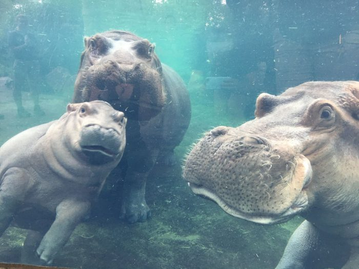fiona the hippo