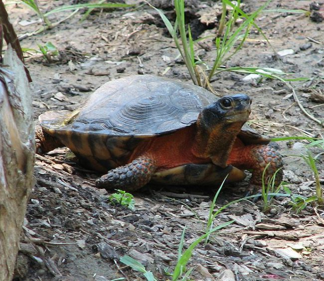 Wood endangered Turtle