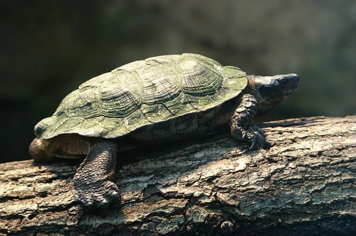 wood turtle endangered turtle