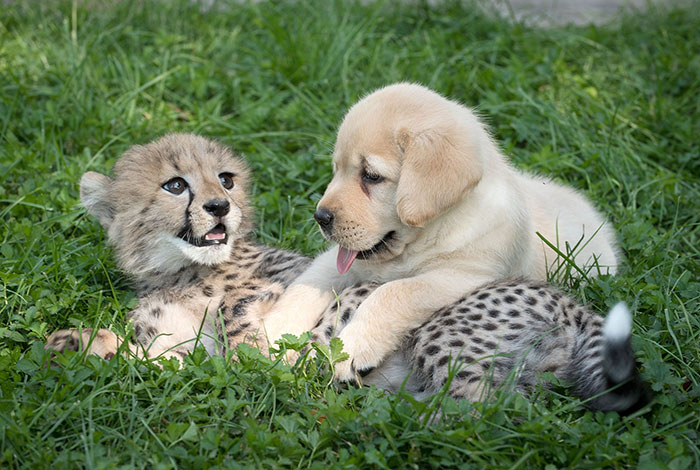 Labrador puppies help to calm cheetahs
