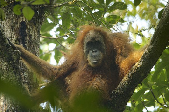 New orangutan species announced