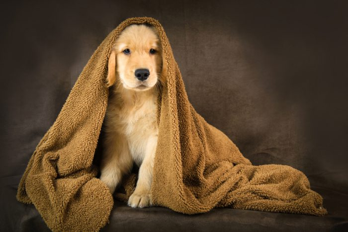 invisible golden retriever puppy