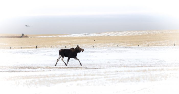Moose on the loose on the prairies