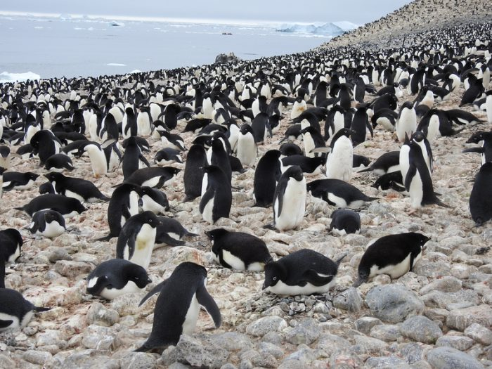 Adélie penguin supercolony is super cool