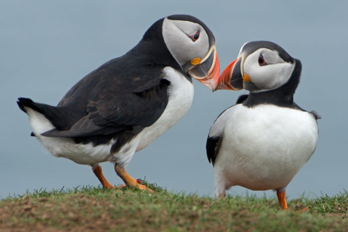 Puffins have fluorescent beaks (and we're in love!)