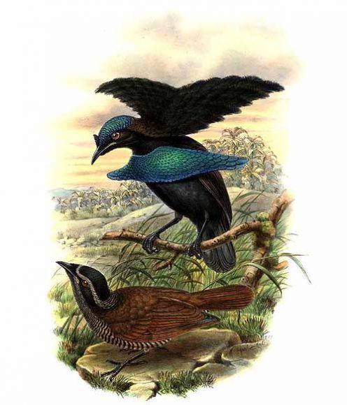 Vogelkop superb bird-of-paradise lives up to its name