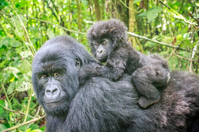 Mountain gorillas hitting new peaks