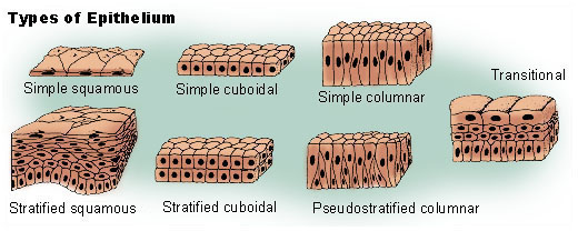 scutoid epithelium