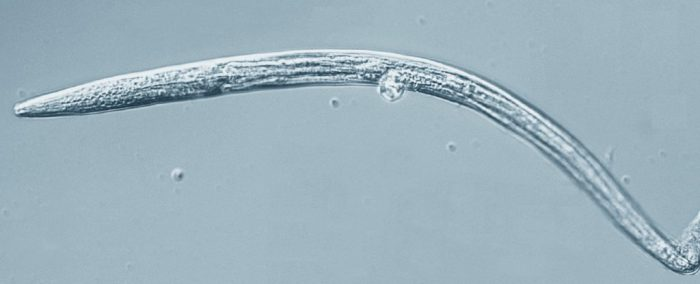 40,000 year-old roundworms just came back to life