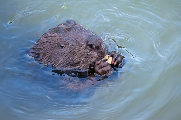 Benvenuto, beavers! Furry friends are back in Italy