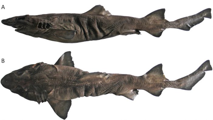 new species false dwarf catshark