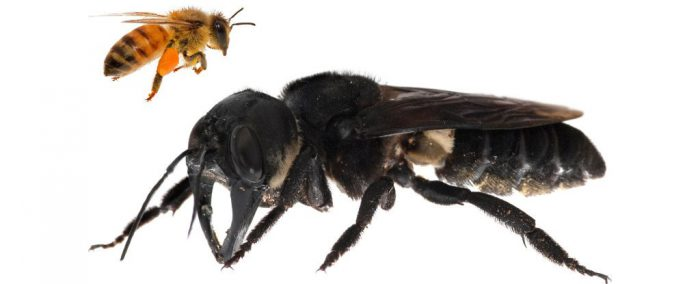 Wallace's giant bee