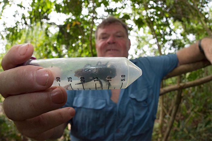 Giant bee rediscovered in Indonesia