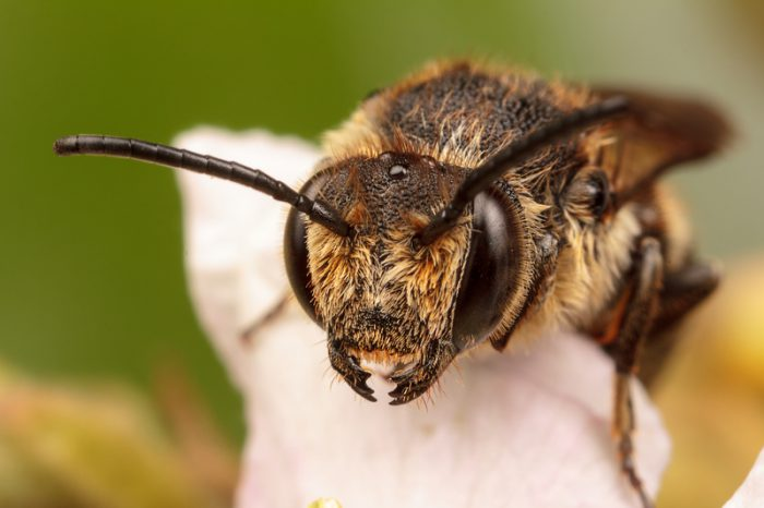 Wild bees in Argentina found using plastic to build nests