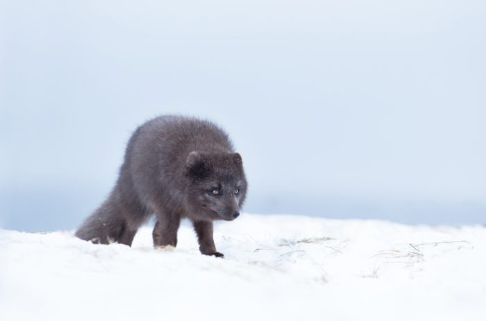 This Arctic fox is on the move!