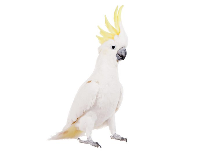 Check out Snowball, the incredible dancing cockatoo