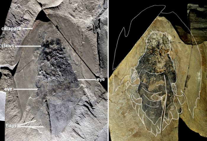 Ancient predator Cambroraster falcatus looks like Millennium Falcon