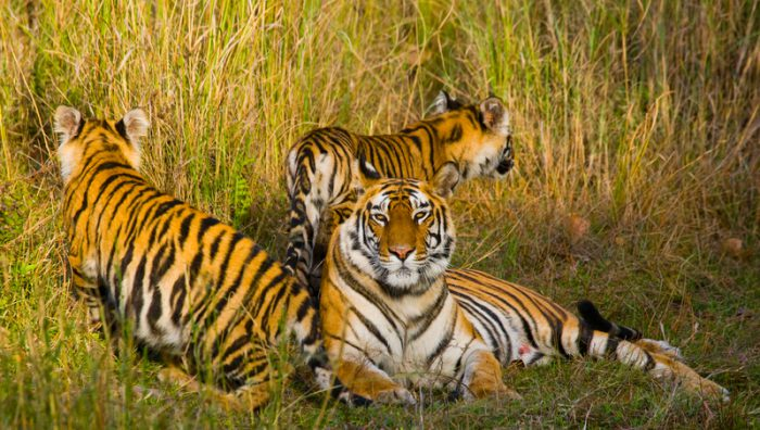 Wild tiger numbers on the rise in India