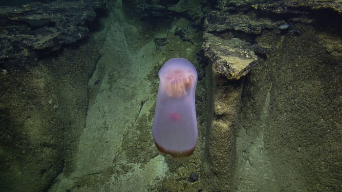 Deep-sea scientists can't get enough of this jelly!