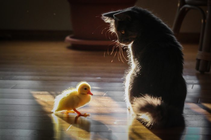 If it quacks like a duck... then it's a kitten?