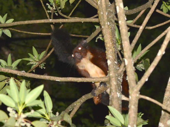New species of giant flying squirrel found in China