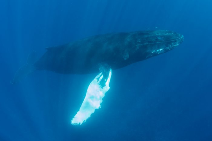 Watch whales fish with bubble nets!