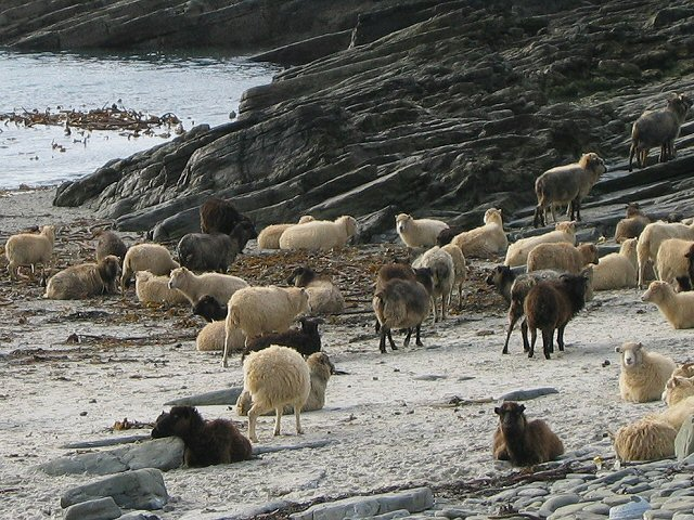 orkney sheep
