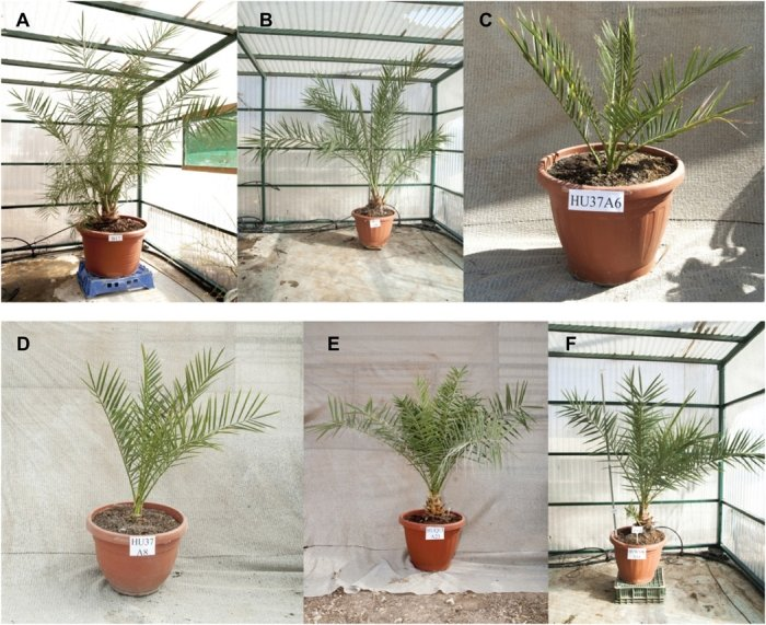 Scientists grow date palms from 2,000 year-old seeds