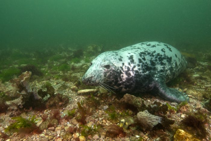 Applause! Grey seals clapping in new footage
