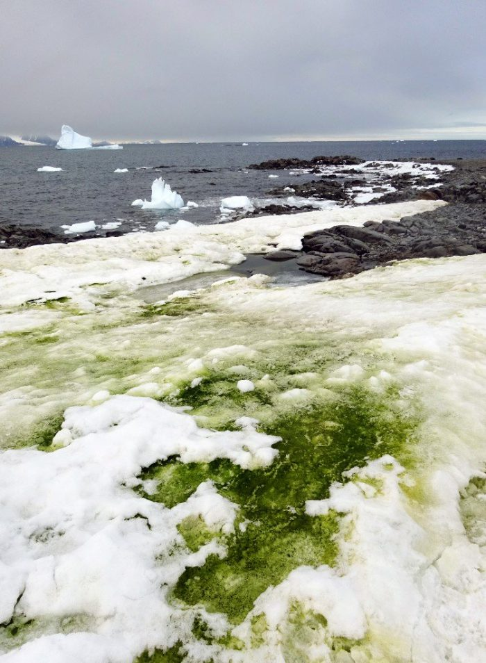 Antarctica blooms with green algae