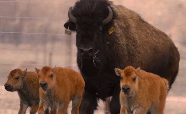 Baby bisons stampede back to Wanuskewin Park!