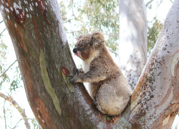 Koalas lick trees to quench thirst