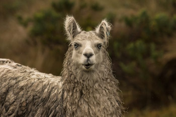 How llama blood might help fight COVID-19