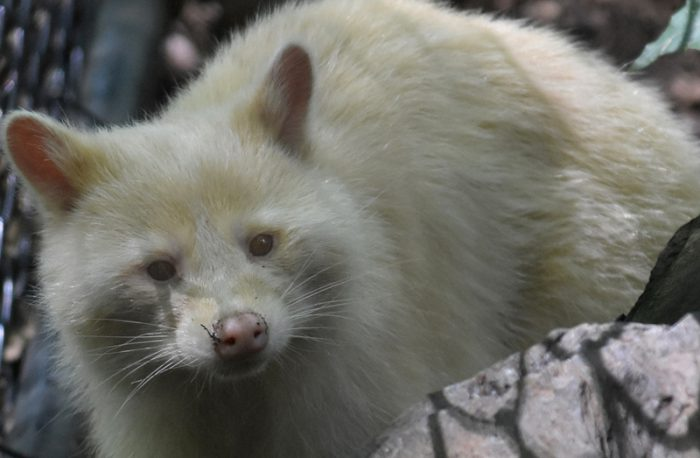 Toronto S White Knight Albino Raccoon Spotted In Backyard Owl