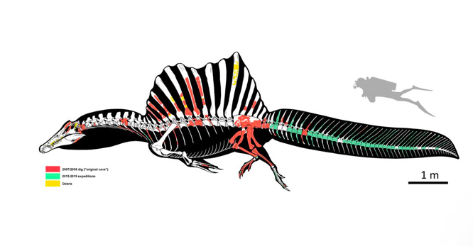 Spinosaurus loved to swim? Tail finally tells tale