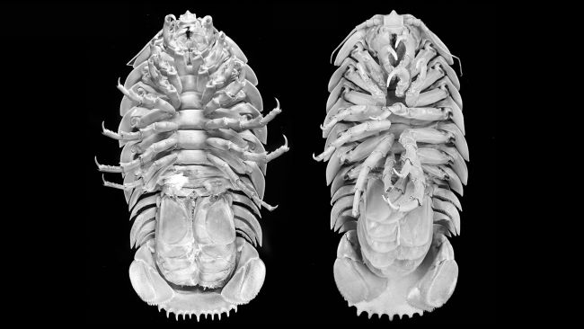 Giant 'Darth Vader' isopod pulled from seas in Indonesia