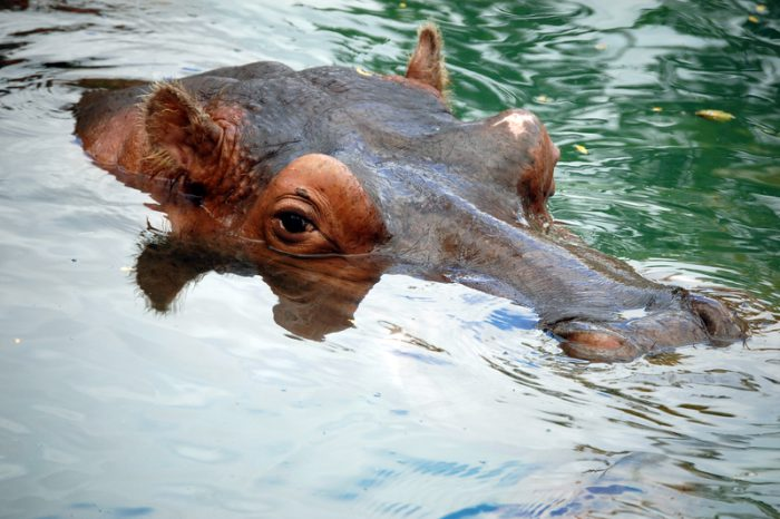 Mexican zoo welcomes baby hippo